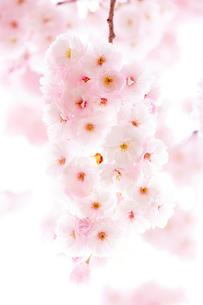 八重桜の花の写真素材 [FYI03753151]