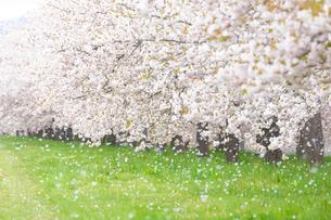 桜の花びら舞う桜並木の写真素材 [FYI03753153]