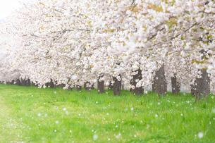 桜の花びら舞う桜並木の写真素材 [FYI03753157]