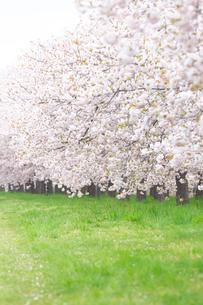 桜並木と緑地の写真素材 [FYI03753162]