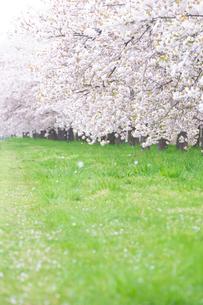 桜並木と花びら舞い散る緑道の写真素材 [FYI03753189]
