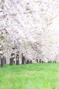 桜並木と緑地の写真素材 [FYI03753193]