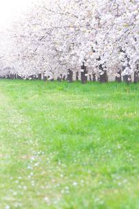 桜並木と花びら舞い散る緑道の写真素材 [FYI03753196]