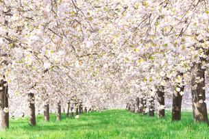 陽射しあふれる八重桜並木の写真素材 [FYI03753233]