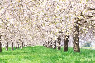 陽射しあふれる八重桜並木の写真素材 [FYI03753237]