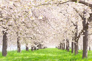 陽射しあふれる八重桜並木の写真素材 [FYI03753247]