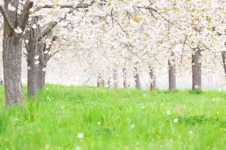 桜の花びら舞う桜並木の写真素材 [FYI03753270]