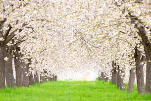 八重桜並木の写真素材 [FYI03753307]