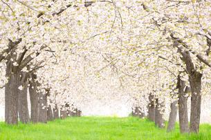 八重桜並木の写真素材 [FYI03753312]