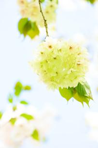 珍しい緑色の桜 ウコンザクラの写真素材 [FYI03753347]