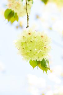 珍しい緑色の桜 ウコンザクラの写真素材 [FYI03753348]
