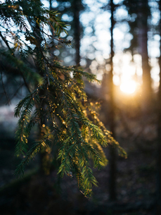 Close-up of pine tree growing in forest during sunsetの写真素材 [FYI03754529]
