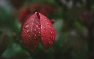 Close-up of water drops on red leaves during rainy seasonの写真素材 [FYI03755613]