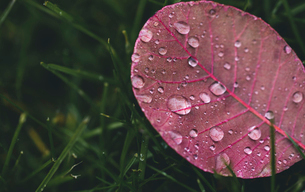 High angle view of wet pink leaf on grassy field during rainy seasonの写真素材 [FYI03755628]