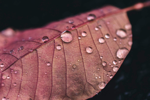 Close-up of water drops on pink leaf during rainy seasonの写真素材 [FYI03755630]