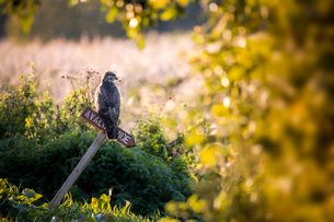 Osprey perching on signboard in forestの写真素材 [FYI03755641]