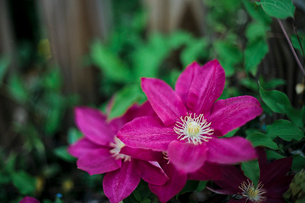 High angle close-up of pink flowers growing in forestの写真素材 [FYI03755736]