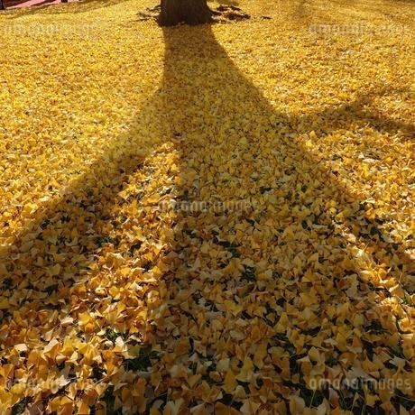 芝公園、黄色いイチョウの絨毯の写真素材 [FYI03756191]