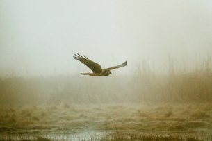 A Northern Harrier Hawk flies on a foggy morningの写真素材 [FYI03756271]