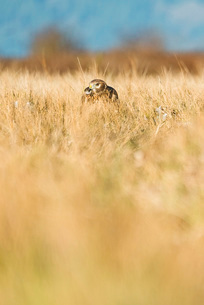 A Northern Harrier hunts on the groundの写真素材 [FYI03756274]
