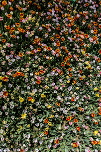 Colorful flower garden as floral concept backgroundの写真素材 [FYI03756333]