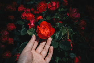 Colorful rose flower in hand in flower garden as floral conceptの写真素材 [FYI03756346]