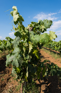 Grape field in a farm with blue sky background.の写真素材 [FYI03756904]