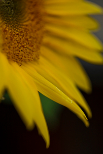 Macro of Sunflowerの写真素材 [FYI03757014]