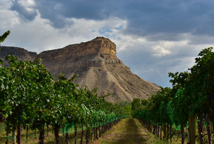 Palisade Grape Vines Coloradoの写真素材 [FYI03757127]