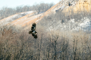 A juvenile bald eagle flies in front of some treesの写真素材 [FYI03757354]