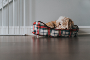 Little dog in a red and white bedの写真素材 [FYI03757812]