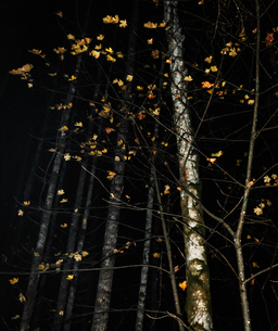 Few maple leaves hang on to a small sapling on a autumn night.の写真素材 [FYI03758168]