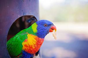 Australian Lorikeet having a Snackの写真素材 [FYI03758480]