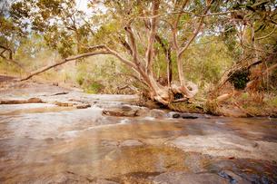 Smooth Trunked Tree beside Flowing Stream, Queensland, Australiaの写真素材 [FYI03758481]