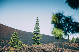 Some pine on volcanic canary landscape in Tenerifeの写真素材 [FYI03758637]