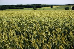 Grain field, agricultural landscape, near Retz, Lower Austria, Austriaの写真素材 [FYI03759702]