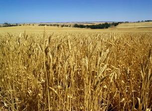 Vast fields of ripening wheat, near Northam, West Australiaの写真素材 [FYI03759779]
