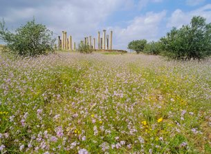 Spring flowers in foreground and columns of the 7th/8th century basilica at ancient Abila, a city ofの写真素材 [FYI03759806]
