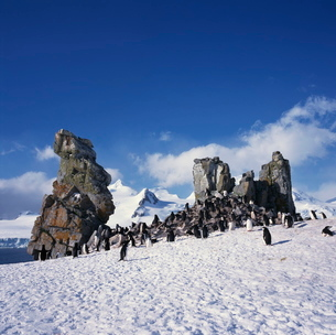 Chinstrap penguins on the snow and rocks on the South Shetland Islands, Antarcticaの写真素材 [FYI03760095]