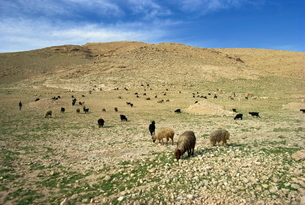 Sheep grazing in agricultural landscape near Shiraz, Iran, Middle Eastの写真素材 [FYI03760120]