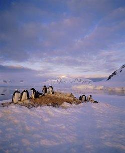 Gentoo penguin rookery, Antarctic Peninsula, Antarcticaの写真素材 [FYI03760127]