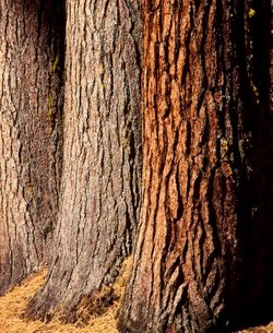 Close-up of the trunks and bark of a grove of Giant Sequoias, Mariposa Grove, Yosemite National Parkの写真素材 [FYI03760506]