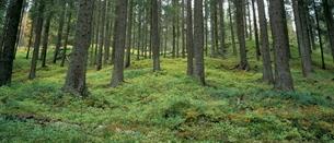 Coniferous woods, Lappland, Sweden, Scandinaviaの写真素材 [FYI03760636]