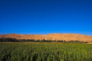 Poppy field between Daulitiar and Chakhcharan, Afghanistanの写真素材 [FYI03760941]