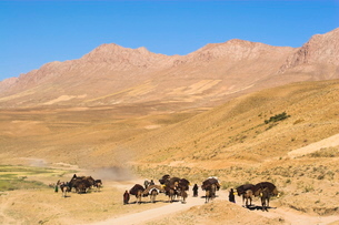 Kuchie nomad camel train, between Chakhcharan and Jam, Afghanistanの写真素材 [FYI03760943]