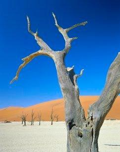 Dead trees and sun-baked pan, Dead Vlei, Namib Naukluft Park, Namibiaの写真素材 [FYI03761086]
