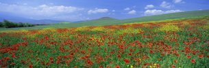 Panoramic view of field of poppies and wild flowers near Montchiello, Tuscanyの写真素材 [FYI03761124]