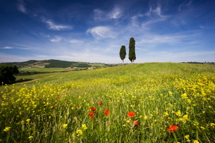 Field of poppies and oil seed with two cypress trees on brow of hill, near Pienza, Tuscanyの写真素材 [FYI03761309]