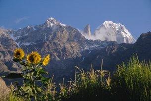 Looking towards Ultar Peak, sunflowers in the foreground, Hunza Valley, Pakistanの写真素材 [FYI03761508]