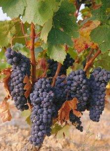 Grapes in vineyard near Logrono, Ebro Valley, La Rioja Provinceの写真素材 [FYI03761569]